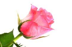 różowy rzymian Zdjęcia Stock