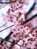 różowy Sakura Obrazy Royalty Free