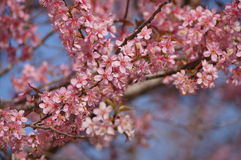 Różowy Sakura kwiat przy Thailand górami Zdjęcia Stock
