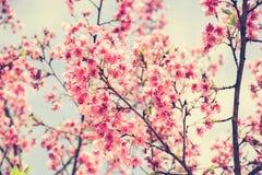 Różowy Sakura kwiatu kwitnienie w rocznika brzmieniu Zdjęcie Royalty Free