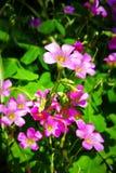 Różowy Shamrock Kwitnie w kwiacie Zdjęcie Royalty Free
