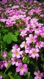 Różowy Shamrock Kwitnie w kwiacie Obraz Stock