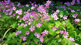 Różowy Shamrock Kwitnie w kwiacie Zdjęcia Stock