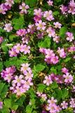 Różowy Shamrock Kwitnie w kwiacie Obrazy Royalty Free