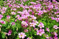 Różowy Shamrock Kwitnie w kwiacie Obrazy Stock