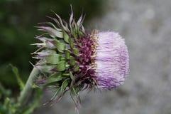 Różowy silybum marianum, mleko Fotografia Stock