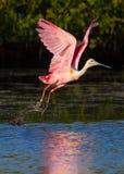 Różowy Spoonbill bierze lot Fotografia Royalty Free