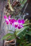Różowy storczykowy close-up Zdjęcie Royalty Free