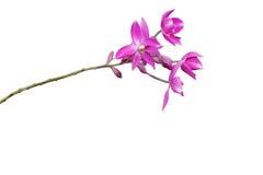 Różowy Storczykowy kwiat Fotografia Stock