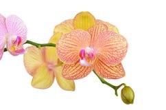 Różowy Storczykowy kwiat Obraz Stock