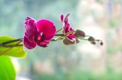 Różowy Storczykowy kwiat Zdjęcie Stock