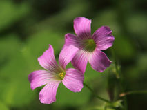 Różowy szczawik Zdjęcie Royalty Free