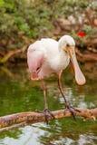 Różowy szpachelka ptak Obraz Royalty Free