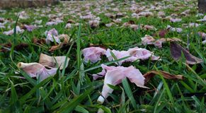 Różowy Tecoma Obrazy Stock