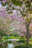 Różowy Tecoma fotografia stock