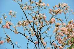 Różowy Tubowy drzewo w niebieskim niebie Fotografia Royalty Free