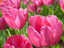 różowy tulipan Zdjęcia Royalty Free