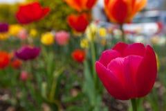 różowy tulipan Zdjęcie Stock