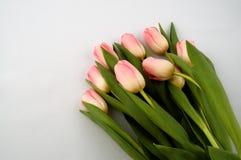 różowy tulipan Zdjęcia Stock