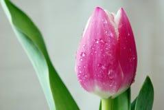 różowy tulipan Fotografia Royalty Free