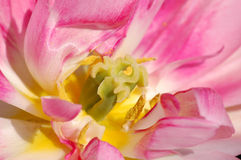 różowy tulipan makro Zdjęcia Royalty Free