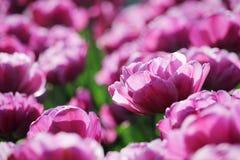 różowy tulipan pola Obraz Stock