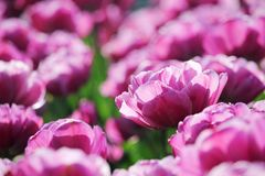 różowy tulipan pola Zdjęcie Royalty Free