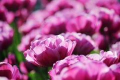 różowy tulipan pola Obrazy Royalty Free