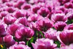 różowy tulipan pola Zdjęcia Royalty Free