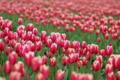 różowy tulipan pola Obraz Royalty Free