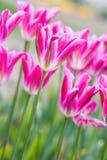 różowy tulipan pola Fotografia Royalty Free