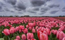 różowy tulipan pola Zdjęcia Stock
