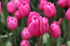 Różowy tulipan w polu przy Rayong kwitnie festiwale Zdjęcie Royalty Free
