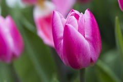 Różowy tulipanowy kwiat Obrazy Royalty Free