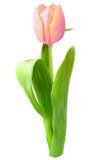 Różowy tulipanowy kwiat Fotografia Stock