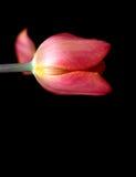 Różowy Tulipanowy kwiat na Czarnym tle Zdjęcia Stock