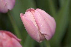 Różowy Tulipanowy Makro- zdjęcie royalty free