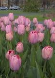 Różowy tulipanu ogród zdjęcia royalty free