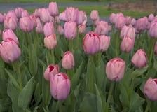 Różowy tulipanu ogród obrazy royalty free