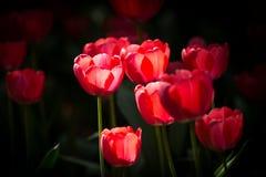 Różowy Tulipas Zdjęcia Stock