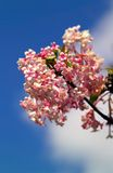 różowy viburnam niebieskie niebo obraz stock