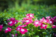 Różowy Vinca Fotografia Stock