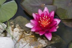 różowy waterlily Fotografia Stock