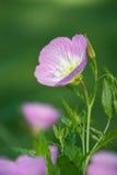 Różowy wieczór pierwiosnek Fotografia Stock
