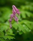 Różowy wildflower w deszczu Fotografia Royalty Free