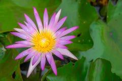 Różowy wodnej lelui kwiat lub lotos Zdjęcia Royalty Free