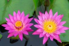 Różowy wodnej lelui kwiat lub lotos Fotografia Stock