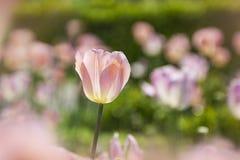 różowy zachwyt Obrazy Stock