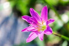 Różowy zephyranthes carinata na natury tle Zdjęcie Stock