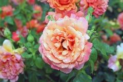 Róża Po deszczów Zdjęcia Royalty Free